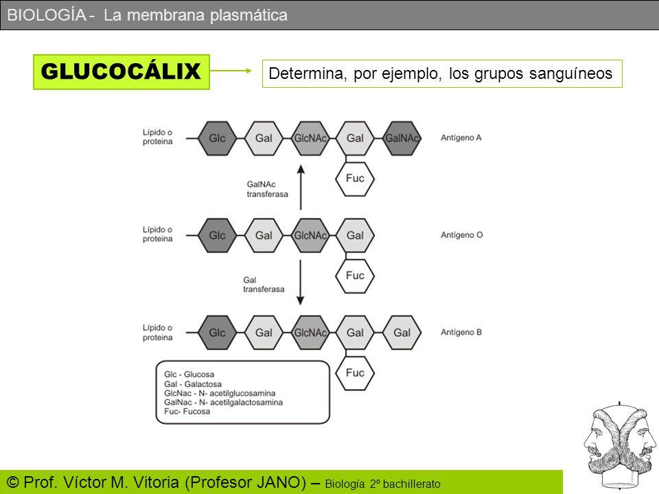 GLUCOCÁLIX Determina, por ejemplo, los grupos sanguíneos