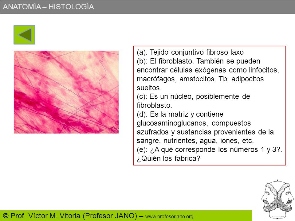 (a): Tejido conjuntivo fibroso laxo