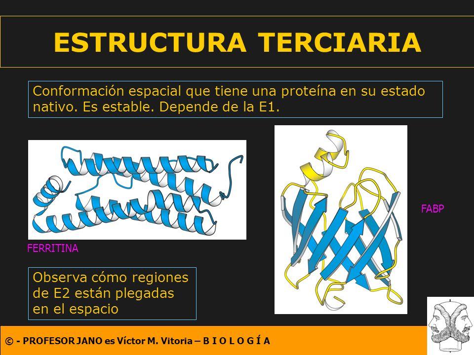 ESTRUCTURA TERCIARIA Conformación espacial que tiene una proteína en su estado nativo. Es estable. Depende de la E1.