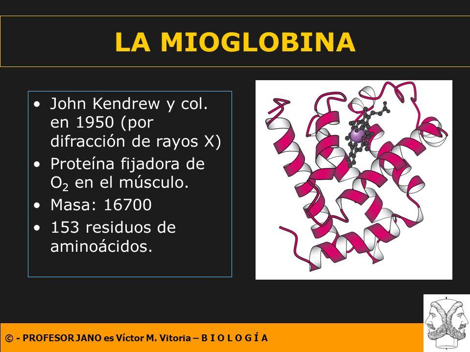 LA MIOGLOBINA John Kendrew y col. en 1950 (por difracción de rayos X)