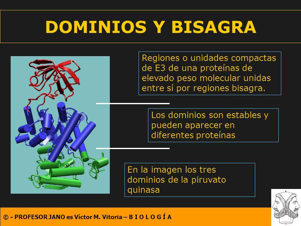 DOMINIOS Y BISAGRA Regiones o unidades compactas de E3 de una proteínas de elevado peso molecular unidas entre sí por regiones bisagra.