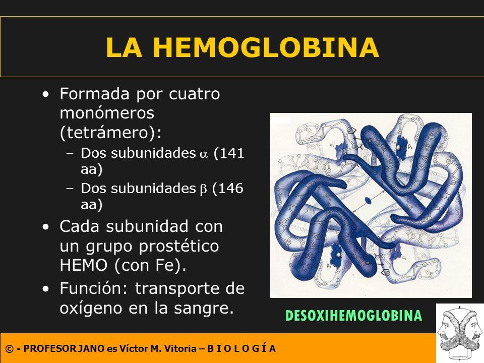 LA HEMOGLOBINA Formada por cuatro monómeros (tetrámero):