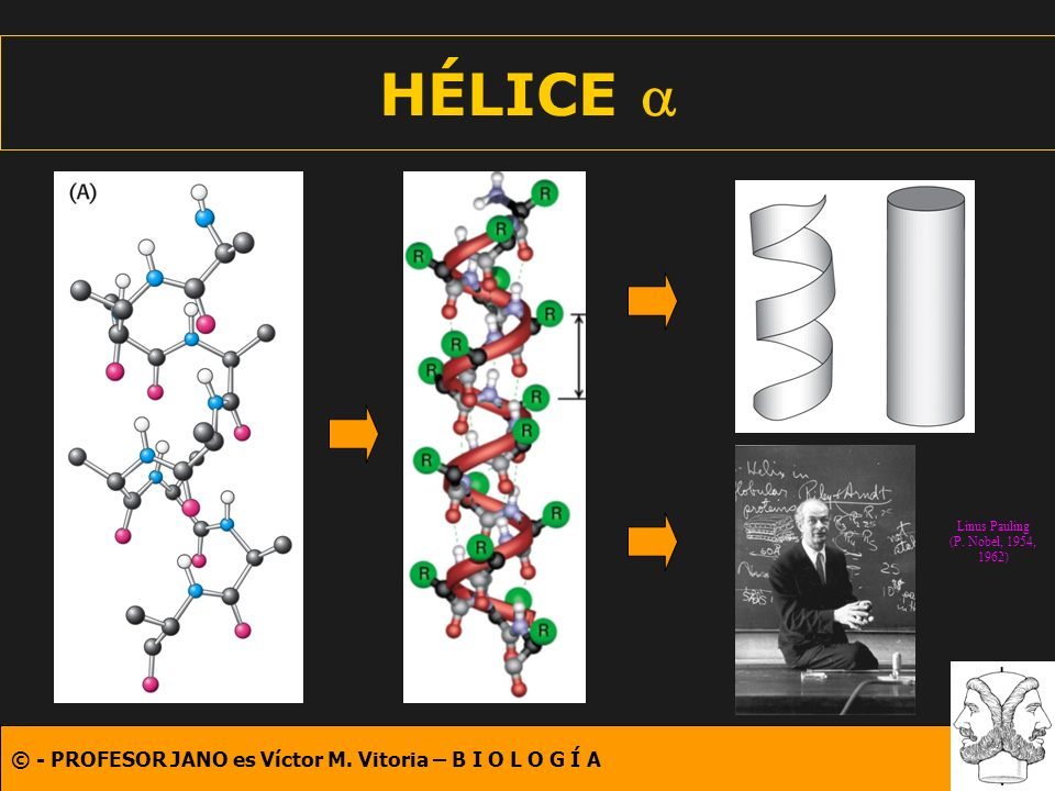HÉLICE a Linus Pauling (P. Nobel, 1954, 1962)