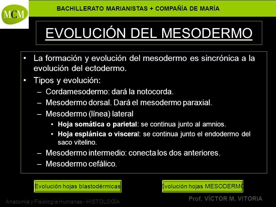 EVOLUCIÓN DEL MESODERMO