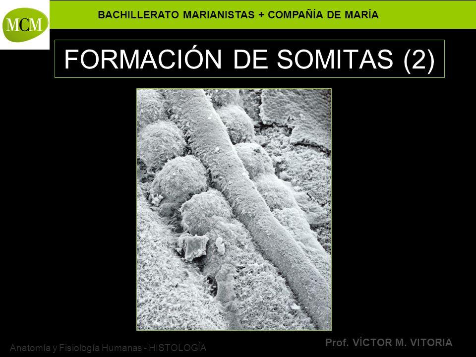 FORMACIÓN DE SOMITAS (2)