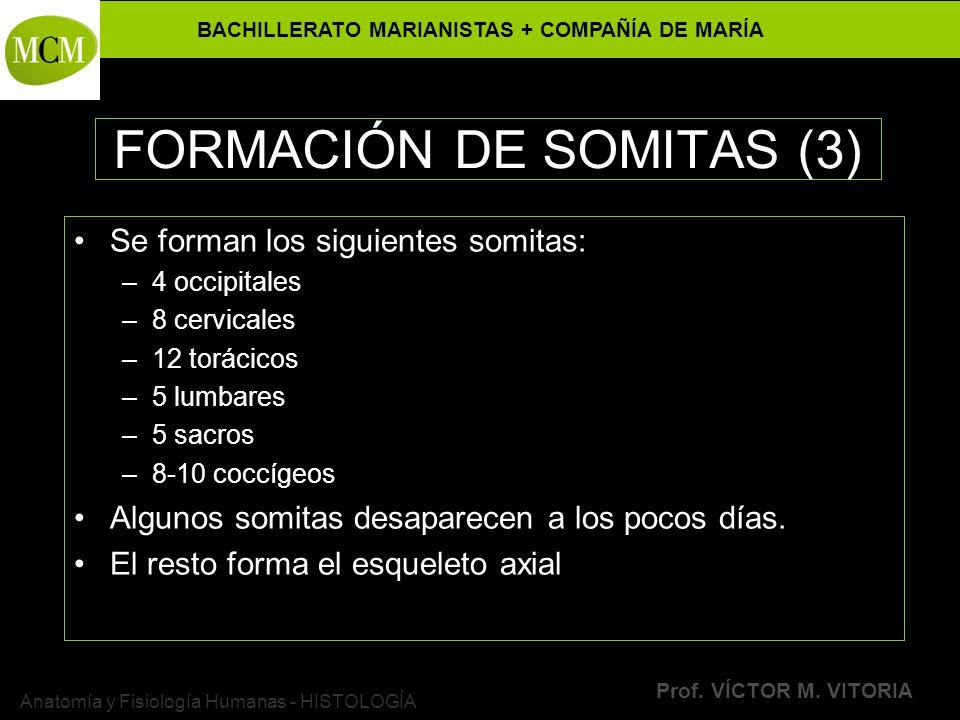 FORMACIÓN DE SOMITAS (3)