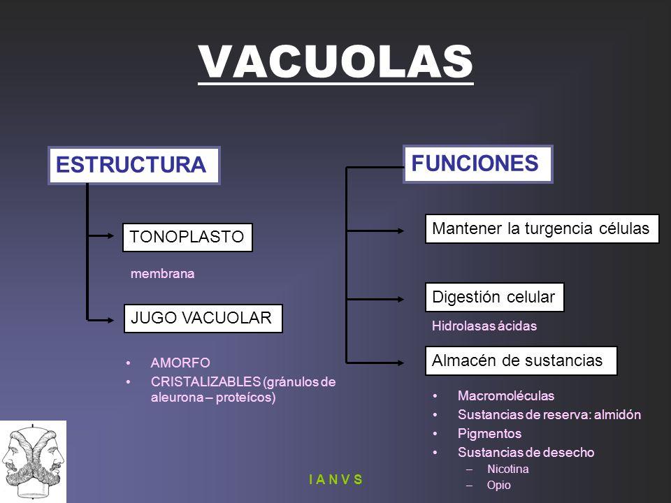 VACUOLAS ESTRUCTURA FUNCIONES Mantener la turgencia células TONOPLASTO