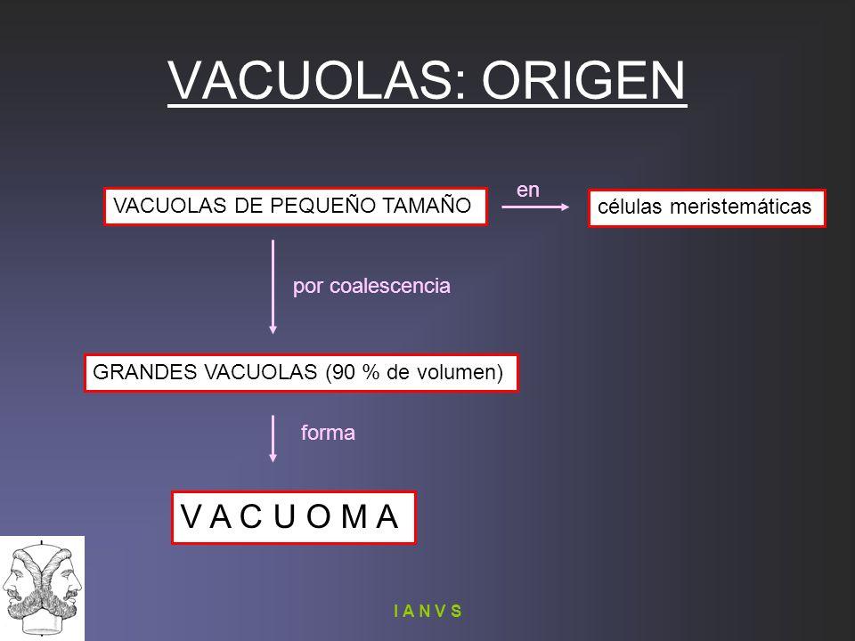 VACUOLAS: ORIGEN V A C U O M A en VACUOLAS DE PEQUEÑO TAMAÑO