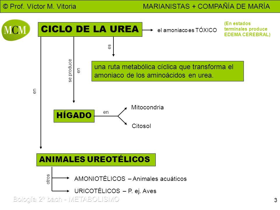 CICLO DE LA UREA HÍGADO ANIMALES UREOTÉLICOS