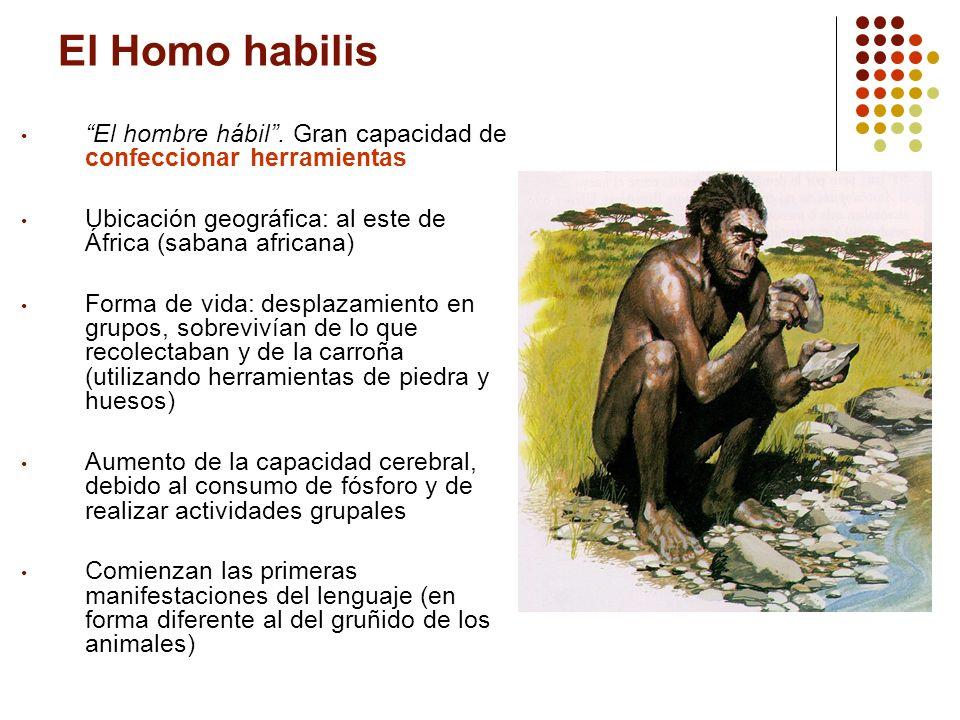 El Homo habilis El hombre hábil . Gran capacidad de confeccionar herramientas. Ubicación geográfica: al este de África (sabana africana)