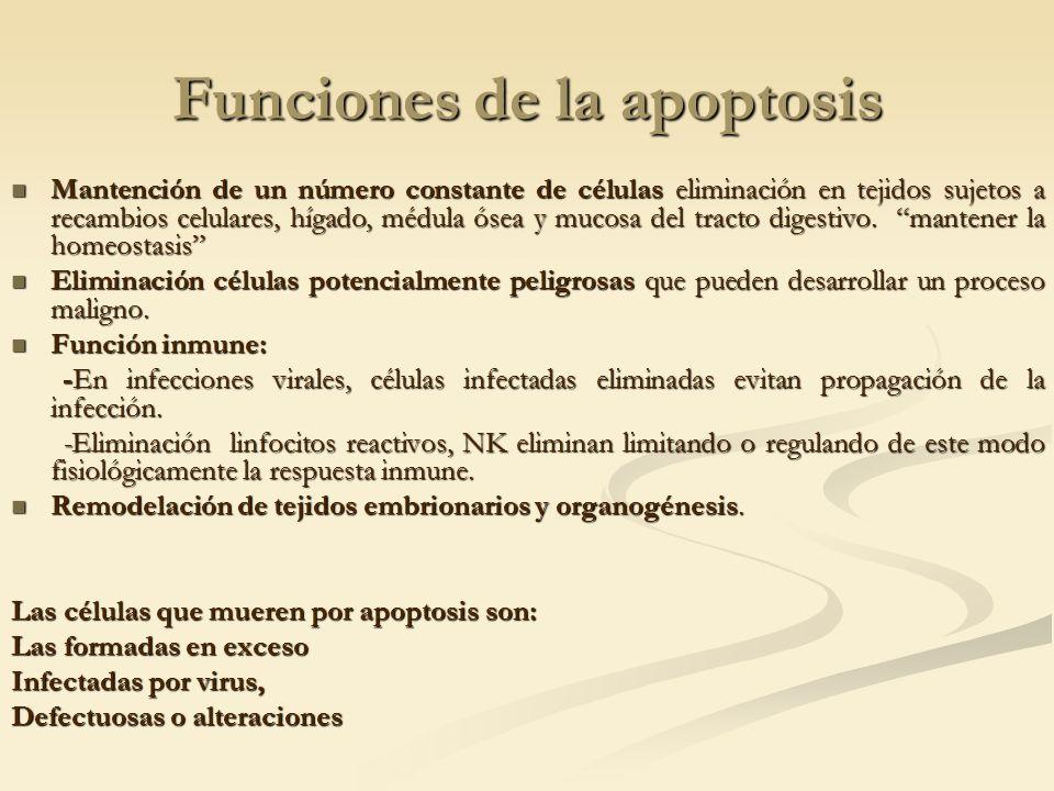 Funciones de la apoptosis