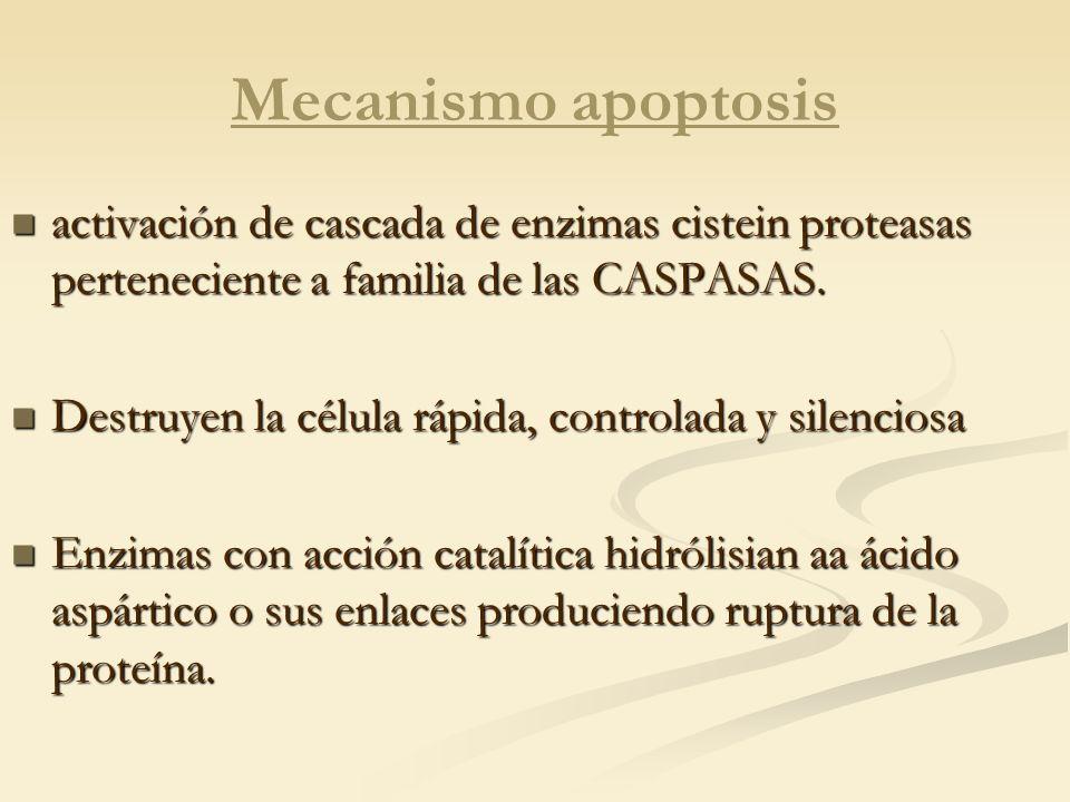 Mecanismo apoptosis activación de cascada de enzimas cistein proteasas perteneciente a familia de las CASPASAS.