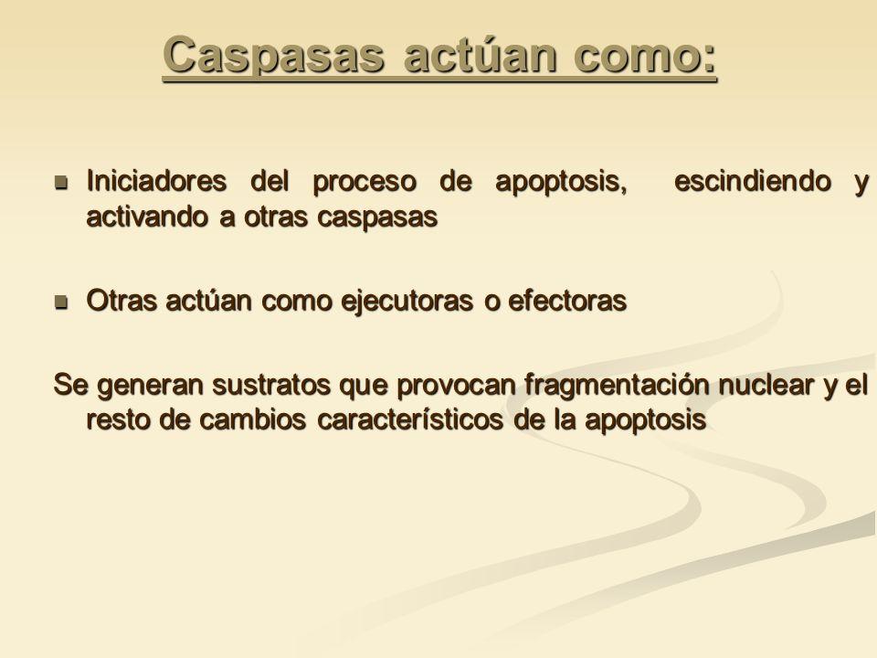Caspasas actúan como: Iniciadores del proceso de apoptosis, escindiendo y activando a otras caspasas.