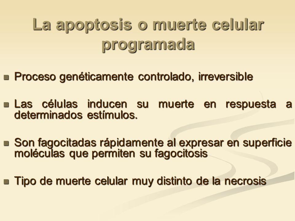 La apoptosis o muerte celular programada