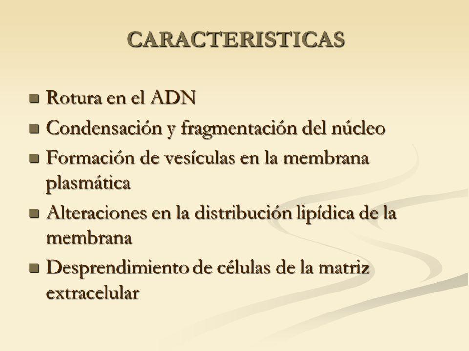 CARACTERISTICAS Rotura en el ADN