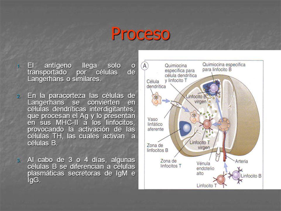 Proceso El antígeno llega solo o transportado por células de Langerhans o similares.