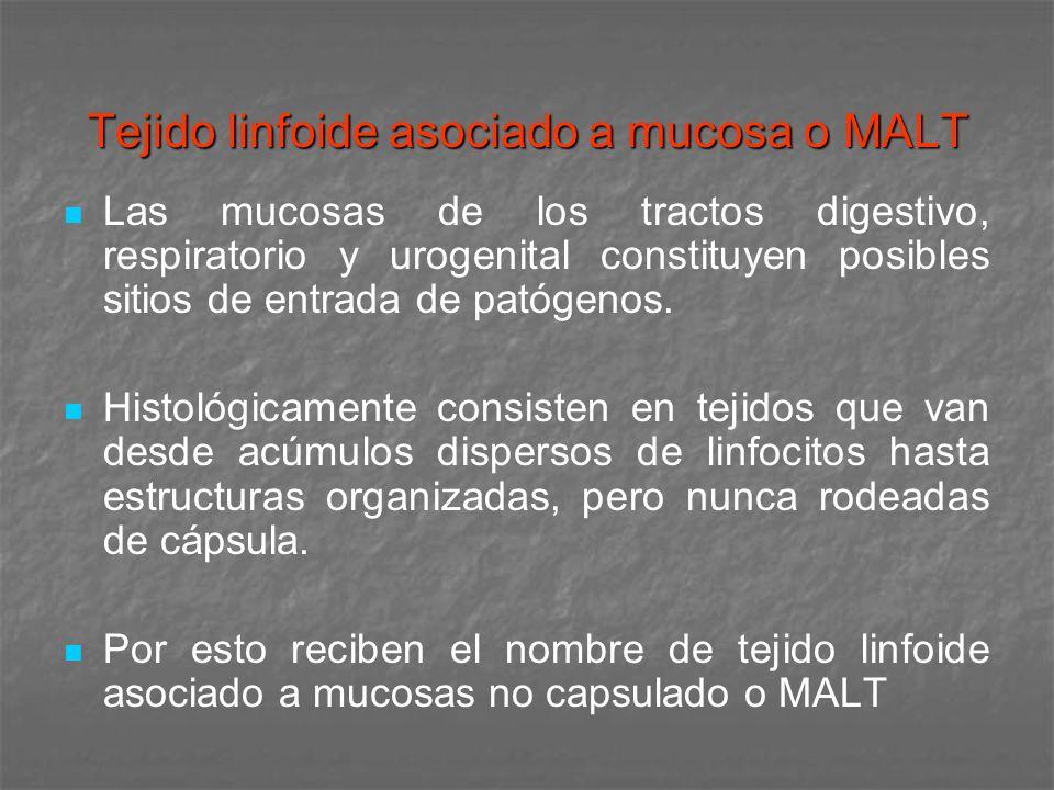 Tejido linfoide asociado a mucosa o MALT