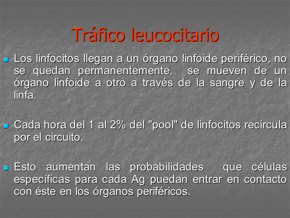 Tráfico leucocitario