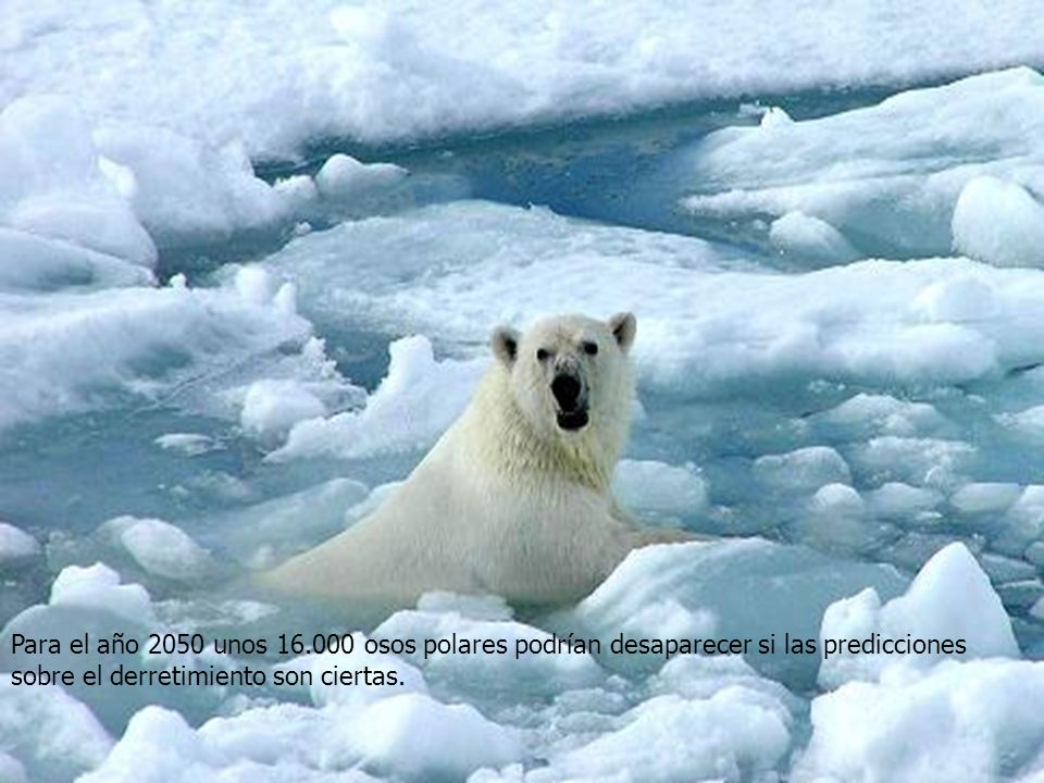 Para el año 2050 unos 16.000 osos polares podrían desaparecer si las predicciones sobre el derretimiento son ciertas.