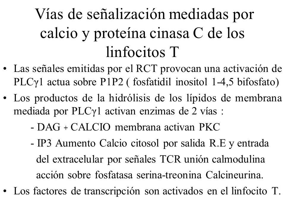 Vías de señalización mediadas por calcio y proteína cinasa C de los linfocitos T