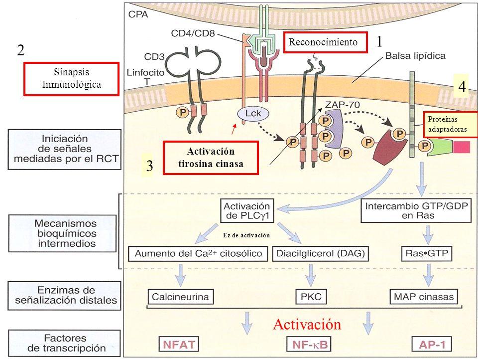 Activación tirosina cinasa