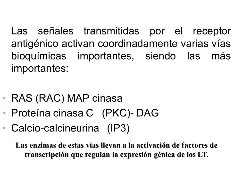 Proteína cinasa C (PKC)- DAG Calcio-calcineurina (IP3)