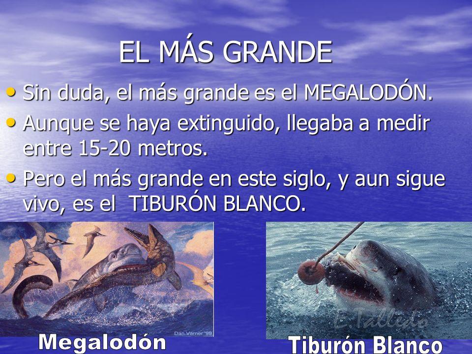 EL MÁS GRANDE Megalodón Tiburón Blanco