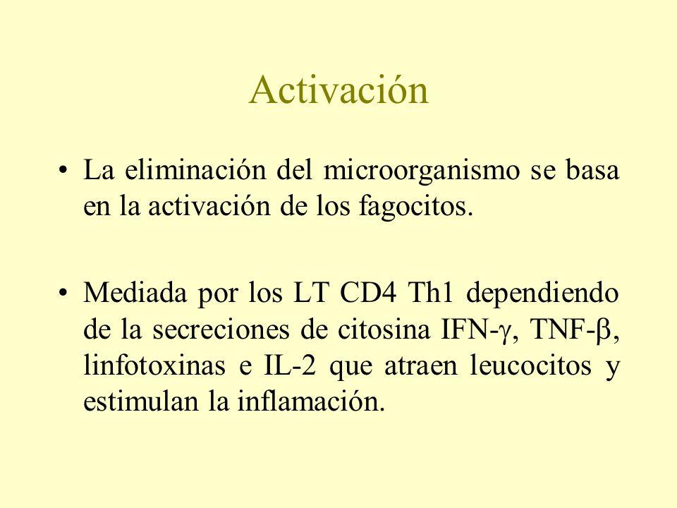 Activación La eliminación del microorganismo se basa en la activación de los fagocitos.