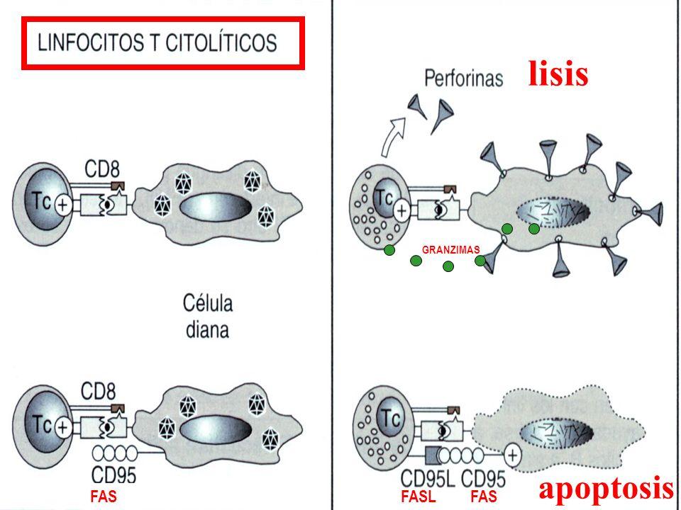 lisis GRANZIMAS apoptosis FAS FASL FAS