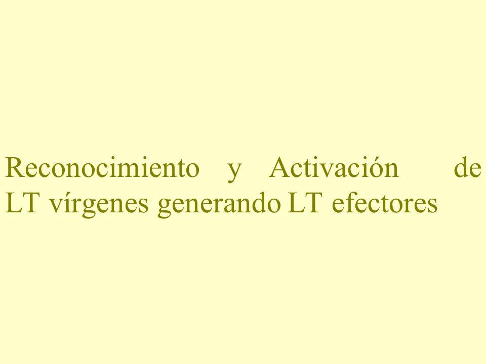 Reconocimiento y Activación de LT vírgenes generando LT efectores
