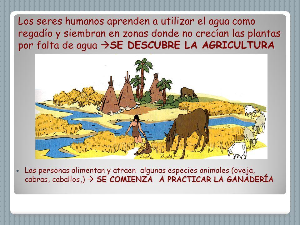 Los seres humanos aprenden a utilizar el agua como regadío y siembran en zonas donde no crecían las plantas por falta de agua SE DESCUBRE LA AGRICULTURA
