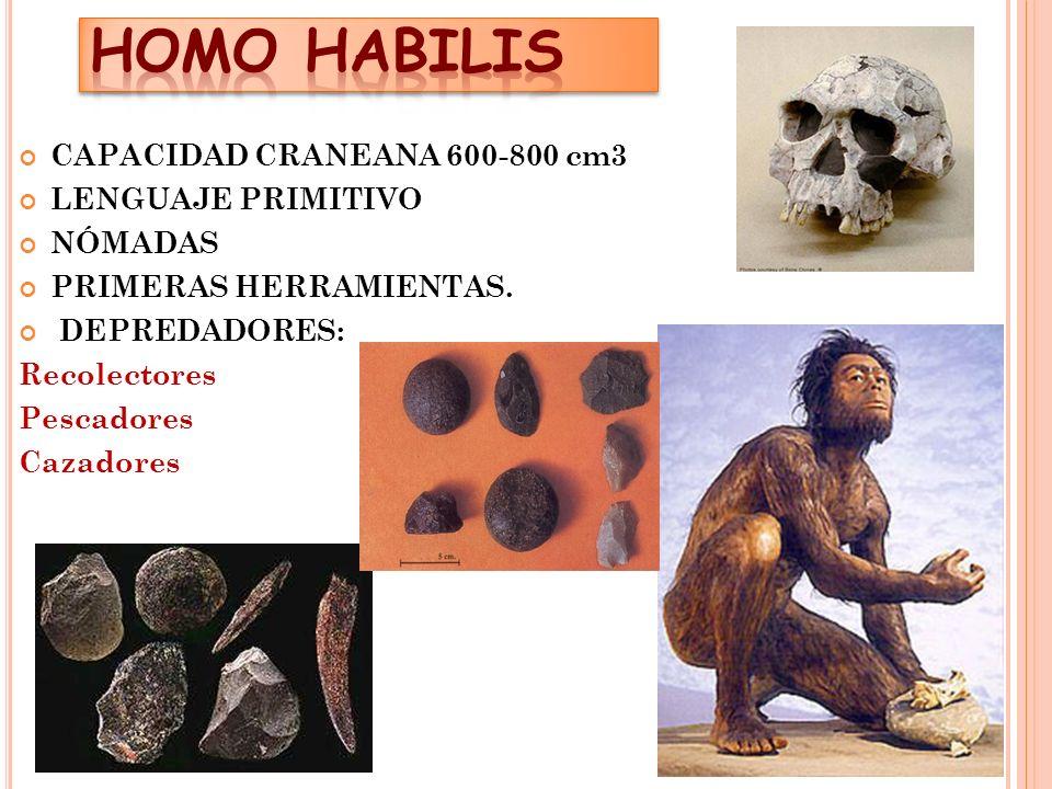 HOMO HABILIS CAPACIDAD CRANEANA 600-800 cm3 LENGUAJE PRIMITIVO NÓMADAS