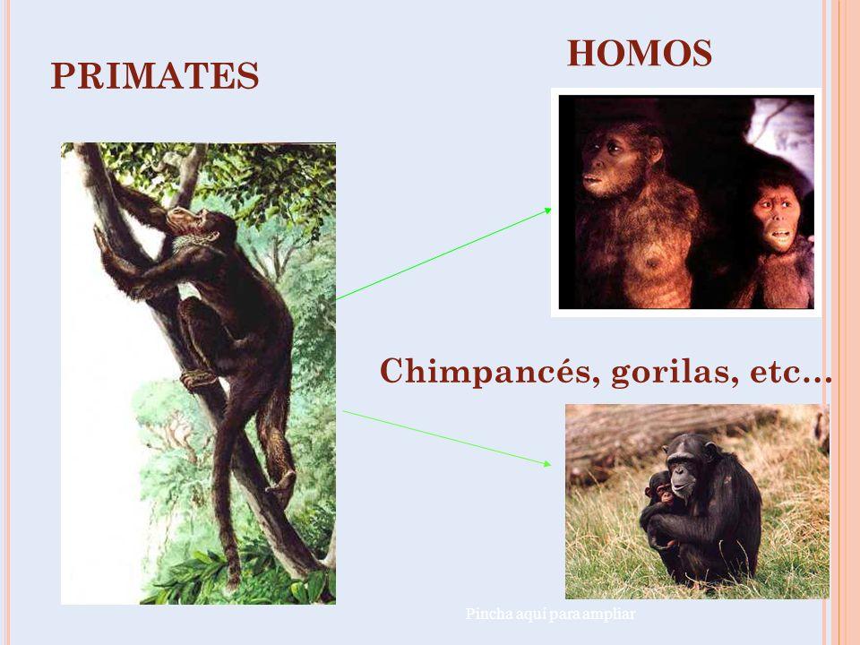 HOMOS PRIMATES Chimpancés, gorilas, etc… Pincha aquí para ampliar