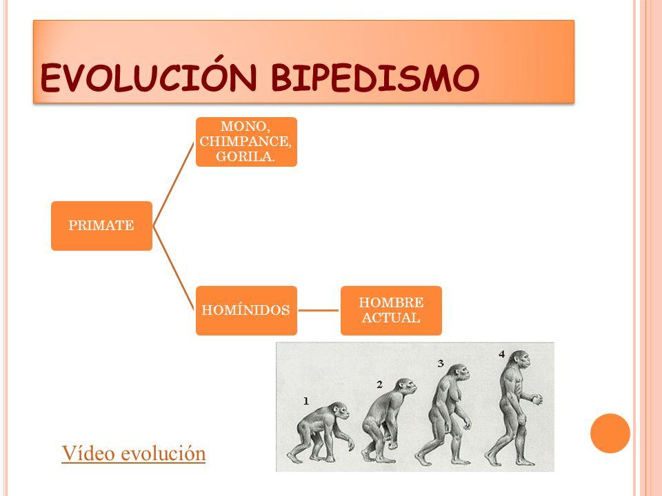 EVOLUCIÓN BIPEDISMO Vídeo evolución PRIMATE MONO, CHIMPANCE, GORILA.