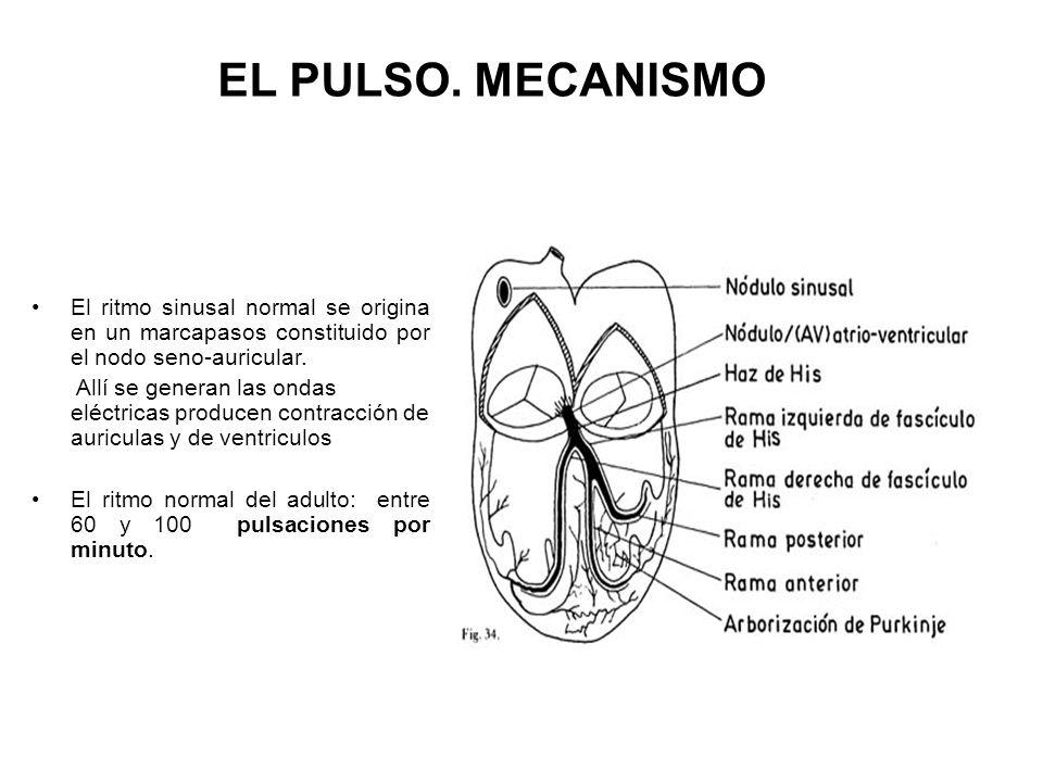 EL PULSO. MECANISMO El ritmo sinusal normal se origina en un marcapasos constituido por el nodo seno-auricular.