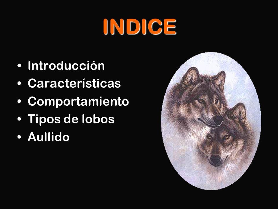 INDICE Introducción Características Comportamiento Tipos de lobos