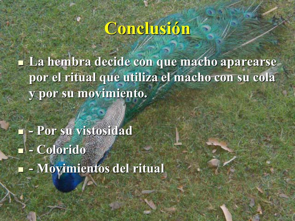 Conclusión La hembra decide con que macho aparearse por el ritual que utiliza el macho con su cola y por su movimiento.