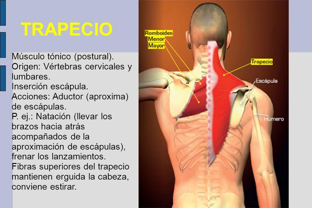 TRAPECIO Músculo tónico (postural).