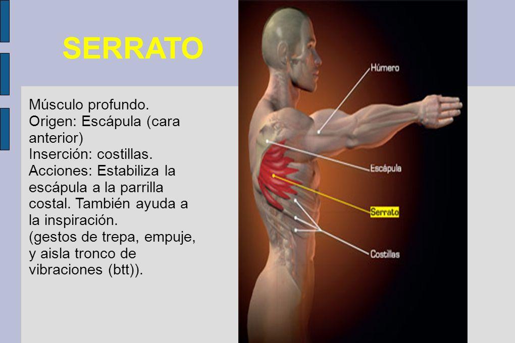 SERRATO Músculo profundo. Origen: Escápula (cara anterior)