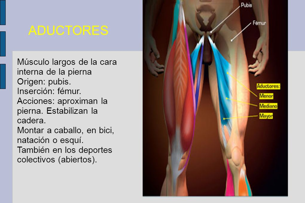 ADUCTORES Músculo largos de la cara interna de la pierna