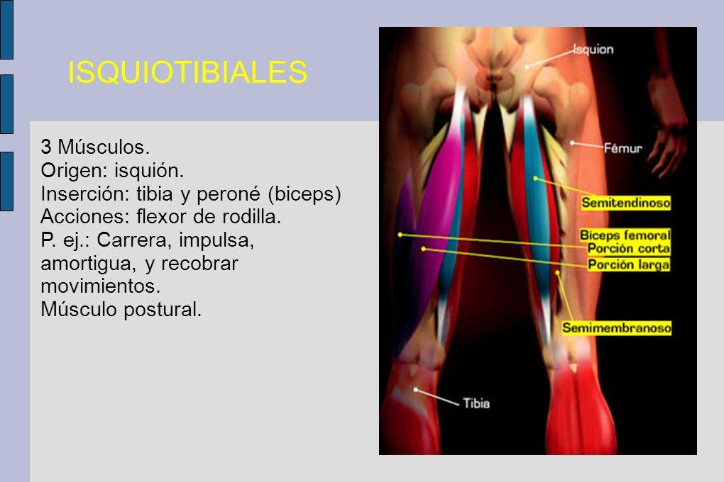ISQUIOTIBIALES 3 Músculos. Origen: isquión.