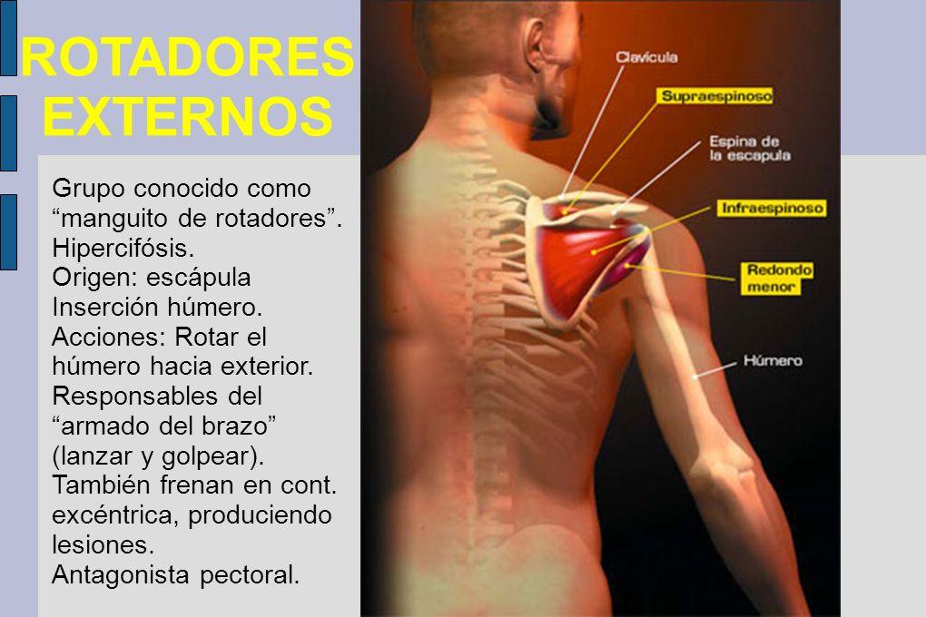 Atractivo Anatomía De Los Músculos Del Manguito Rotador Imagen ...