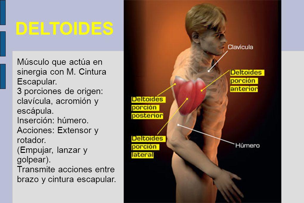 DELTOIDES Músculo que actúa en sinergia con M. Cintura Escapular.
