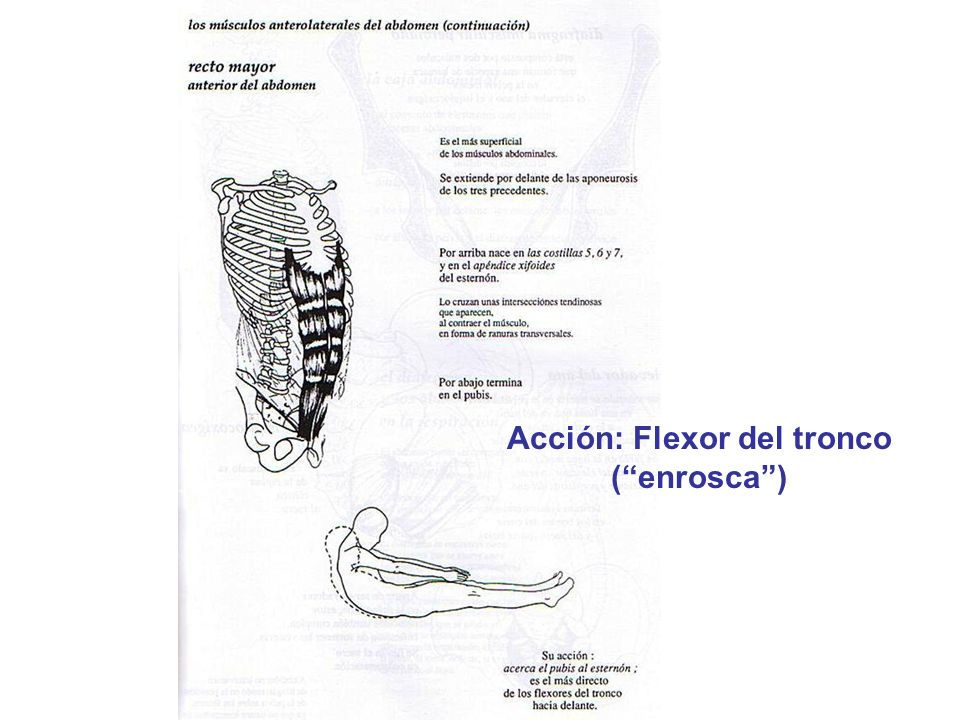 Acción: Flexor del tronco ( enrosca )