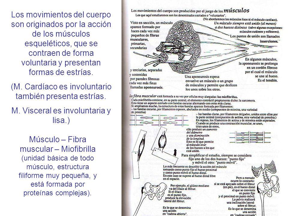 (M. Cardíaco es involuntario también presenta estrías.