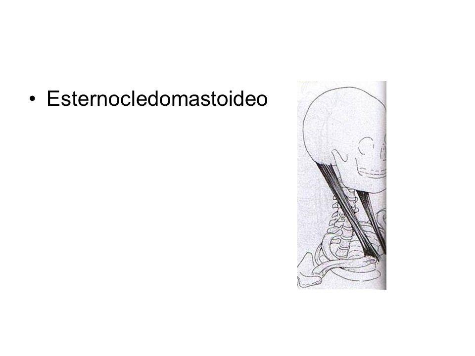 Esternocledomastoideo