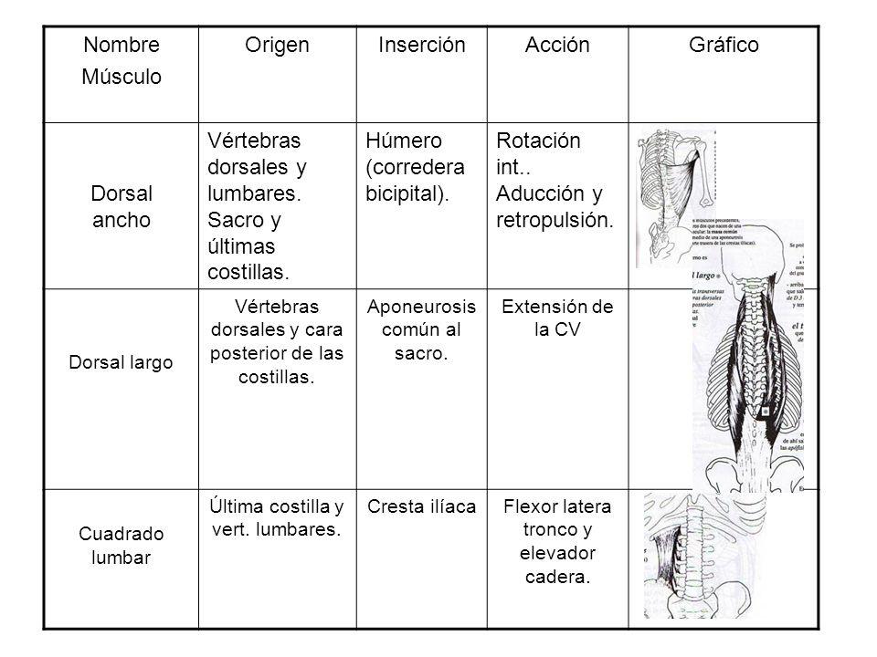 Vértebras dorsales y lumbares.