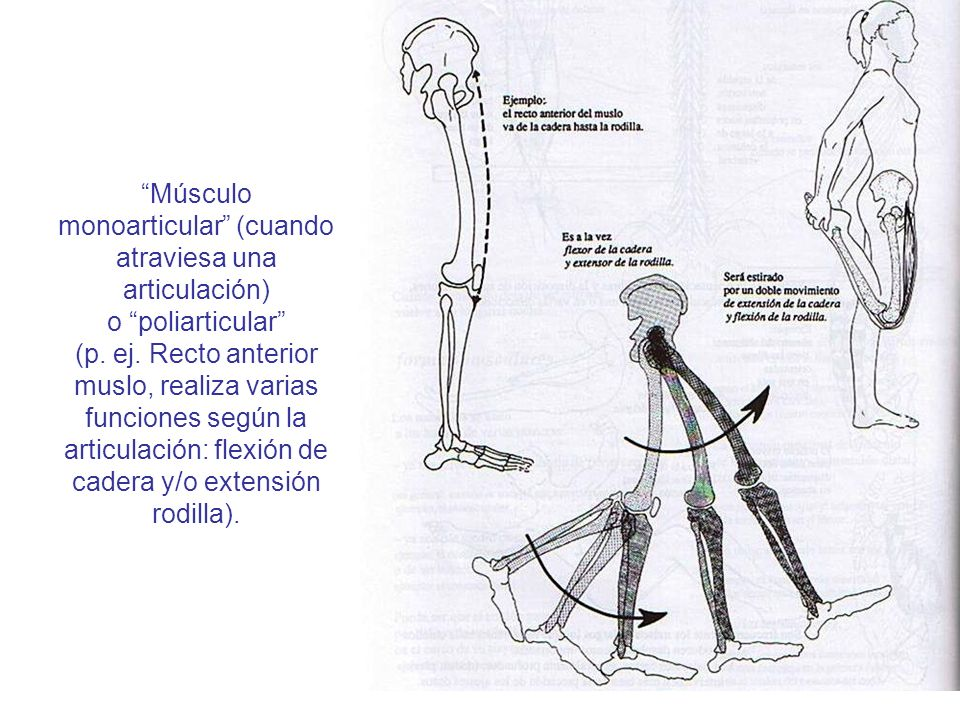 Músculo monoarticular (cuando atraviesa una articulación) o poliarticular (p.
