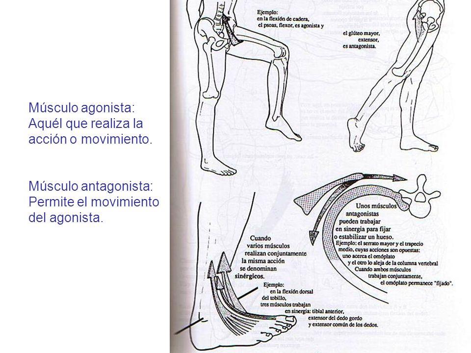Músculo agonista: Aquél que realiza la acción o movimiento