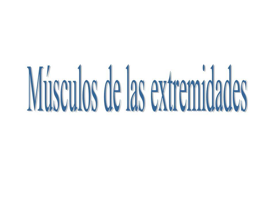 Músculos de las extremidades